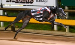 Smokey scorches in St Leger heats